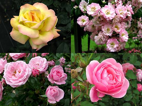 110601-machida-rose003.jpg