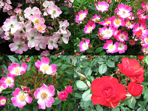 110601-machida-rose004.jpg