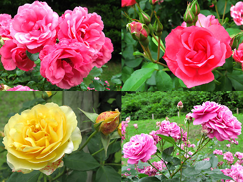 110601-machida-rose005.jpg