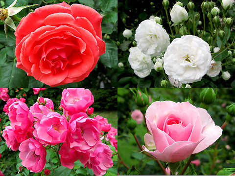 110601-machida-rose006.jpg