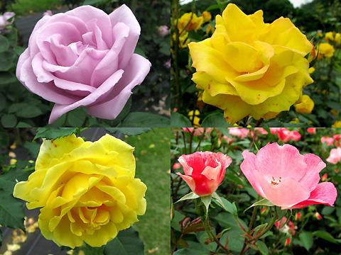 110601-machida-rose007.jpg