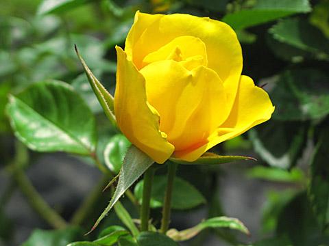 140519-rose004.jpg