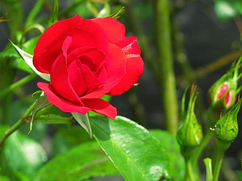 140519-rose005.jpg